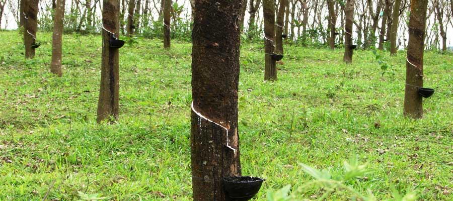 Kanjirappally-Rubber-Trees
